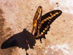 ombre-papillon